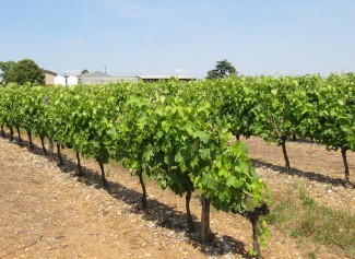 Growing vines in the Charente