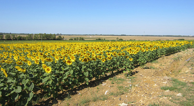 Vendée sunflowers