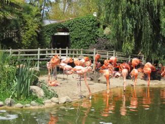 Flamingos at La Palmyre Zoo