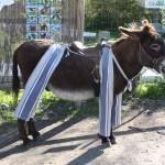 poitou donkey in trousers