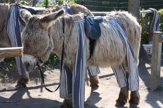 donkey in trousers on ile de re